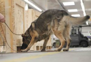 how do detection dogs work ?