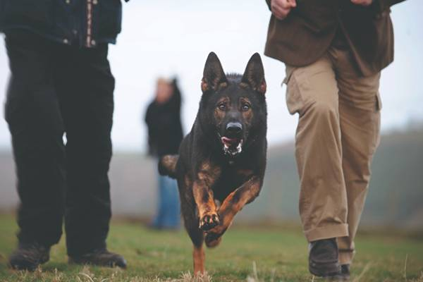 fully trained working dogs