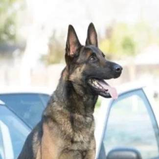 patrol dogs for sale
