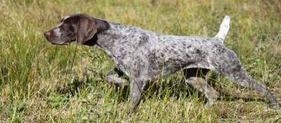 What breed of dogs are working dogs