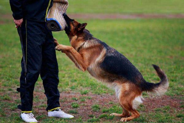 pretrained or semi trained working dogs