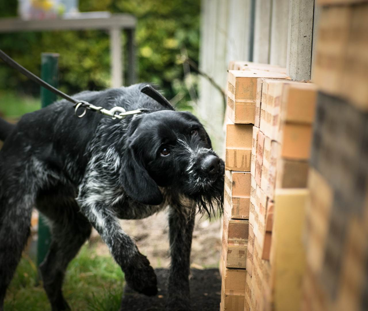 Explosive detection dogs for sale