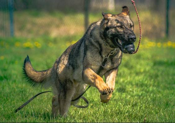 How Are Police Dogs Trained ?