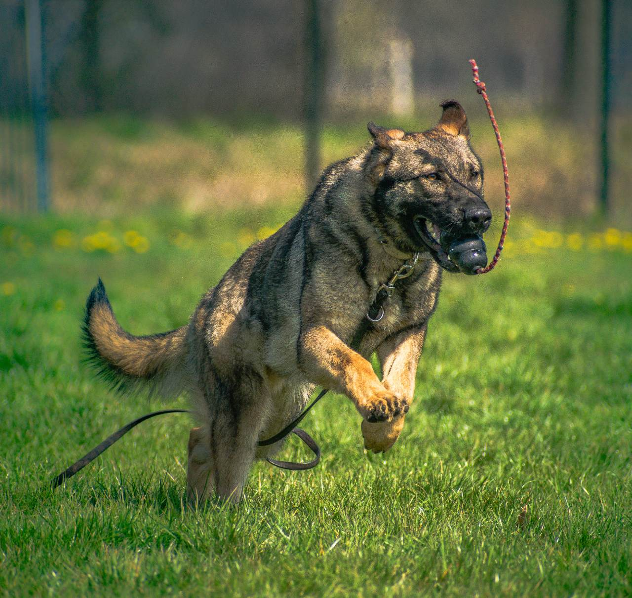 how are police dogs trained