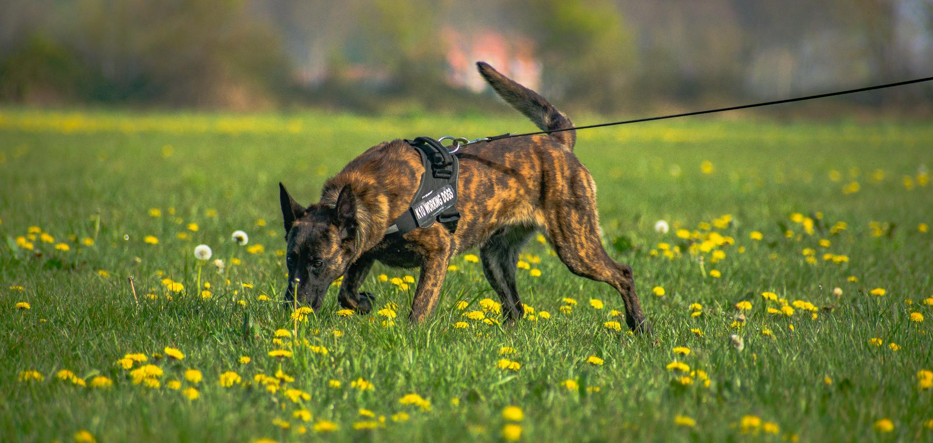 what are the best sniffer dog breeds ?